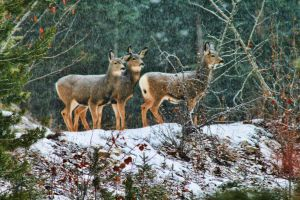 Some Deer in the Snow by skip2000