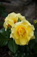 Yellow-Rose by AngeliaArt