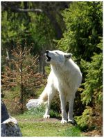 The Wolf Howl by Terru-Photography