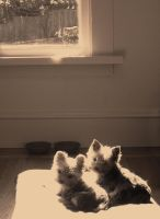 My Yorkshire terriers -yorkies by amber-rose-creations