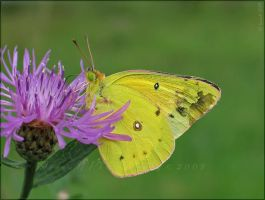 'Colias' by WaitingForTheWorms