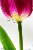 Tulip on Shine by BarflyDance