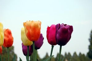 Silk Tulips by Denae63