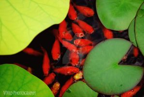 Goldfish And Lilly Pads by jvivier