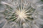 in the center of a dandelion by MT-Photografien