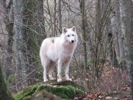 White wolf standing Stock by AngelSTOCK22