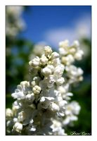 White flowers by PtiteCocci
