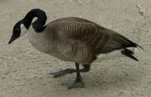722 - goose by WolfC-Stock