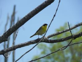 Common Yellowthroat by Yggdrassal