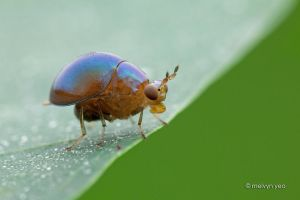 Beetle Fly,Celyphidae by melvynyeo