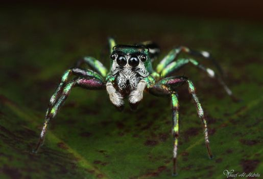Jumping Spider - Cosmophasis micans by AlHabshi