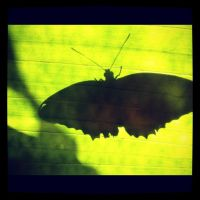 butterfly shadow by Kirraleisasexybeast