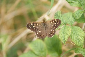 DSC00624 Speckled Wood butterfly, QE Country Park by VIRGOLINEDANCER1