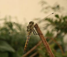 Dragon fly_1_ by Morvarid26