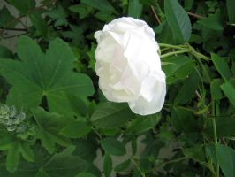 white rose by Meltys-stock