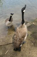 Geese. by gerald-the-mouse3