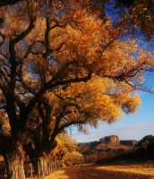 Cottonwood Lane by SharPhotography