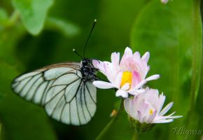 White butterfly by Uligma