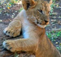 Lion Cubs 2 by HDevers