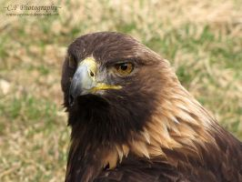 Golden Eagle 528 by caybeach