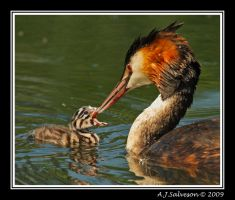 Grebe And Chick by andy-j-s