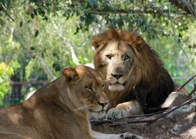 Lion and Lioness by RoyalImageryJax