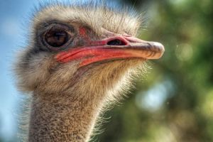 Ostrich HDR by DanielleMiner