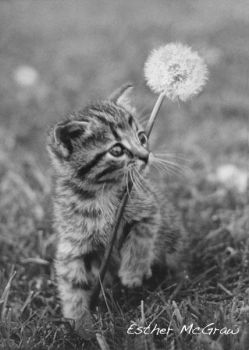 Dandelion with Kitten by EstherMcGraw