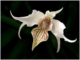 WHITE ORCHID by THOM-B-FOTO