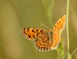 The orange butterfly by corsuse