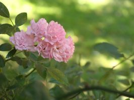 Roses I by fairling-stock