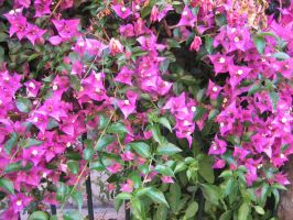 Pink flowers in Italy by crudinski