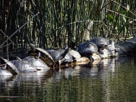 Sunbathing turtles by gjheitz