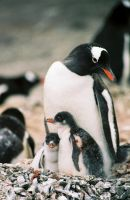Gentoo Penguin with chicks by Serendith