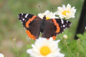 Red Admiral Butterfly3 by Lynxwing