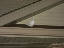 White Pigeon on the roof by dragontamer272