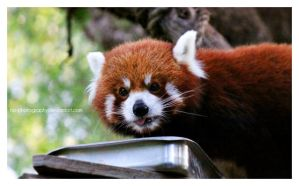 Red Panda. by no-photography