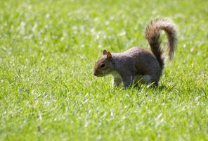 squirrel in the grass by evilstone