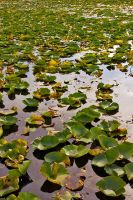 Lone Lake Lily Pads by sequential