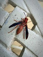 Red Wasp by mulesaregreat77