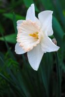 Daffodil 3 by LucieG-Stock