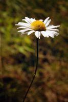 pretty daisy by LucieG-Stock