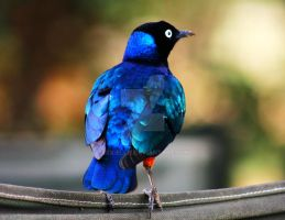 Superb Starling by xxx-ellie