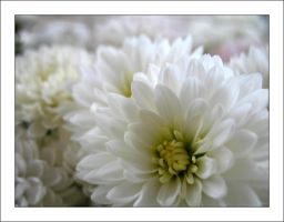 White flowers 2 by MichelleMarie