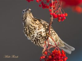 Mistle thrush by Jamie-MacArthur