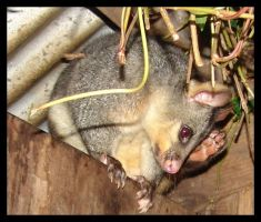 Mr itchy possum by yepyepyep