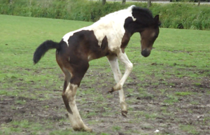 Fay - Reiring Seal Brown Tobiano Filly by Horselover60-Stock