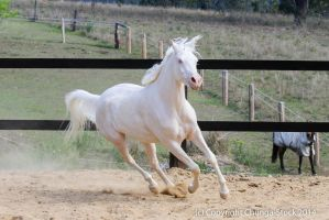 KR Arabian canter frontside view cremello by Chunga-Stock