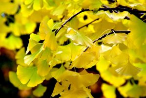 gingko tree by minamiko