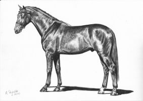 Dutch Warmblood by AnnaP-Artwork